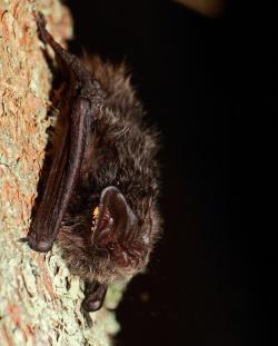 """(Foto: NPV Bayerischer Wald): Schon mal eine Fledermaus oder andere """"Nachtflieger"""" von nahem gesehen? Die Nationalparkexkursion """"Was fliegt über den Baumwipfelpfad?"""" bietet hierzu die Chance."""