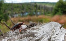 Die streng geschützte Rote-Liste-Art Zottenbock ist eine der Raritäten der Insektenwelt, die aufgrund der vielen naturbelassenen Totholzhabitate im Nationalpark Bayerischer Wald leben können und erstmals im vergangenen Jahr hier nachgewiesen wurde. (Foto: NPV Bayerischer Wald)