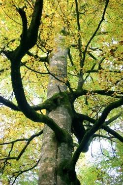 Herbstleuchten auf dem Weg zur Sonnenuhr beim Schwellhäusl: Die alten Baumriesen des urwaldartigen Hans-Watzlik-Hains sind zu jeder Jahreszeit ein beeindruckendes Erlebnis (Foto: NPV Bayerischer Wald)