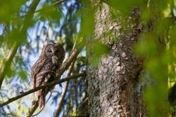 Braucht zum Überleben und erfolgreichen Brüten strukturreiche Wälder und jede Menge Mäuse: der Habichtskauz. (Foto: Bruno D´Amicis)