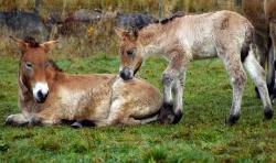 Seltener Moment im Familienleben: Die beiden in diesem Jahr geborenen Halbgeschwister hatten bislang wenig direkten Kontakt, da Muttertiere bei ganz jungen Fohlen meist auf Abstand zum Rest der Herde bedacht sind.