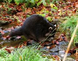 Seine tastende Nahrungssuche im Wasser, das an unser Händewaschen erinnert, gab dem Waschbären seinen Namen.(Fotos: NPV Bayerischer Wald)