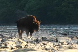 Wild lebende Wisente gehören zu den vielen faszinierenden Wildtierarten, die Erik Baláž in seinem neuesten Film präsentiert. (Fotos: Karol Kalisky)
