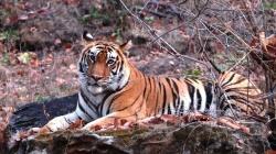 Wie können große und seltene Raubtiere wie der Tiger trotz dichter menschlicher Besiedelung einen Lebensraum finden? Diese und viele weitere Fragen sind Thema des Vortrags von Fritz Jantschke. (Foto: Fritz Jantschke)