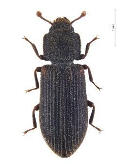 Kleiner Käfer, große Sensation: Der seltene Reitters Rindenkäfer Synchita separanda wurde jetzt erstmals im Nationalpark Bayerischer Wald nachgewiesen. (Foto: Alexander Szallies)