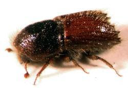 Kleiner Käfer, große Wirkung: Der nur wenige Millimeter große Fichtenborkenkäfer Ips typographus hat einen nachweislich positiven Einfluss auf die Artenvielfalt in fichtendominierten Waldökosystemen.