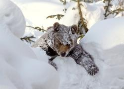 Braunbärin Luna hat ihre Winterruhe trotz Schnee kurz unterbrochen – jedoch ohne rechte Begeisterung, wie es scheint.