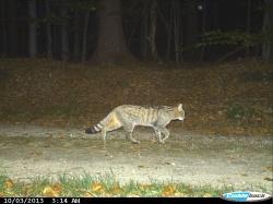 Seit 2010 tappen sie immer wieder in die Fotofallen des Nationalparks: Wild lebende Katzen mit dem typischen Wildkatzenhabitus (Foto: NPV Bayerischer Wald).