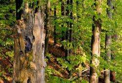Braucht zum Überleben und erfolgreichen Brüten genügend geeignete Nistplätze in strukturreichen Wäldern mit viel verwittertem Totholz: der Habichtskauz. (Foto: Michael Göggelmann)