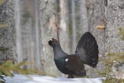 Mit Rücksicht auf das Auerhuhn und andere störempfindliche Tierarten bittet die Nationalparkverwaltung Bayerischer Wald, zum Jahreswechsel auf Raketen und Böller im Nationalpark zu verzichten. Bild(er): Sascha Rösner, NPV BW