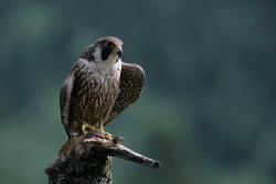 Um sie ging es bei der vorrübergehenden Schutzsperrung im Höllbachgespreng: Erfolgreiche Bruten der bedrohten Wanderfalken im Nationalpark Bayerischer Wald. (Foto: Michael Göggelmann)