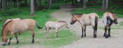 Jung und unerfahren, aber durchaus selbstbewusst: das Przewalski-Hengstfohlen im Tierfreigelände des Nationalparkzentrums Falkenstein (Bild: NPV)