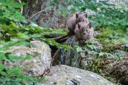 Noch ein wenig schüchtern: die Luchskätzchen im Tierfreigelände des Nationalparkzentrums Falkenstein (Bild: Stefan Sempert)