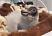 Dieser junge Bartgeier wird aktuell in einer Aufzuchtstation in Spanien aufgezogen, bevor er im Juni zusammen mit einem weiteren Artgenossen im Nationalpark Berchtesgaden ausgewildert wird.
